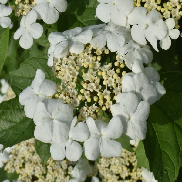 Japanese Snowball Bushes For Sale Brighterblooms Com