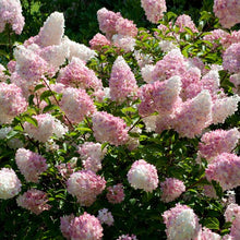 Vanilla Strawberry Hydrangea Shrub