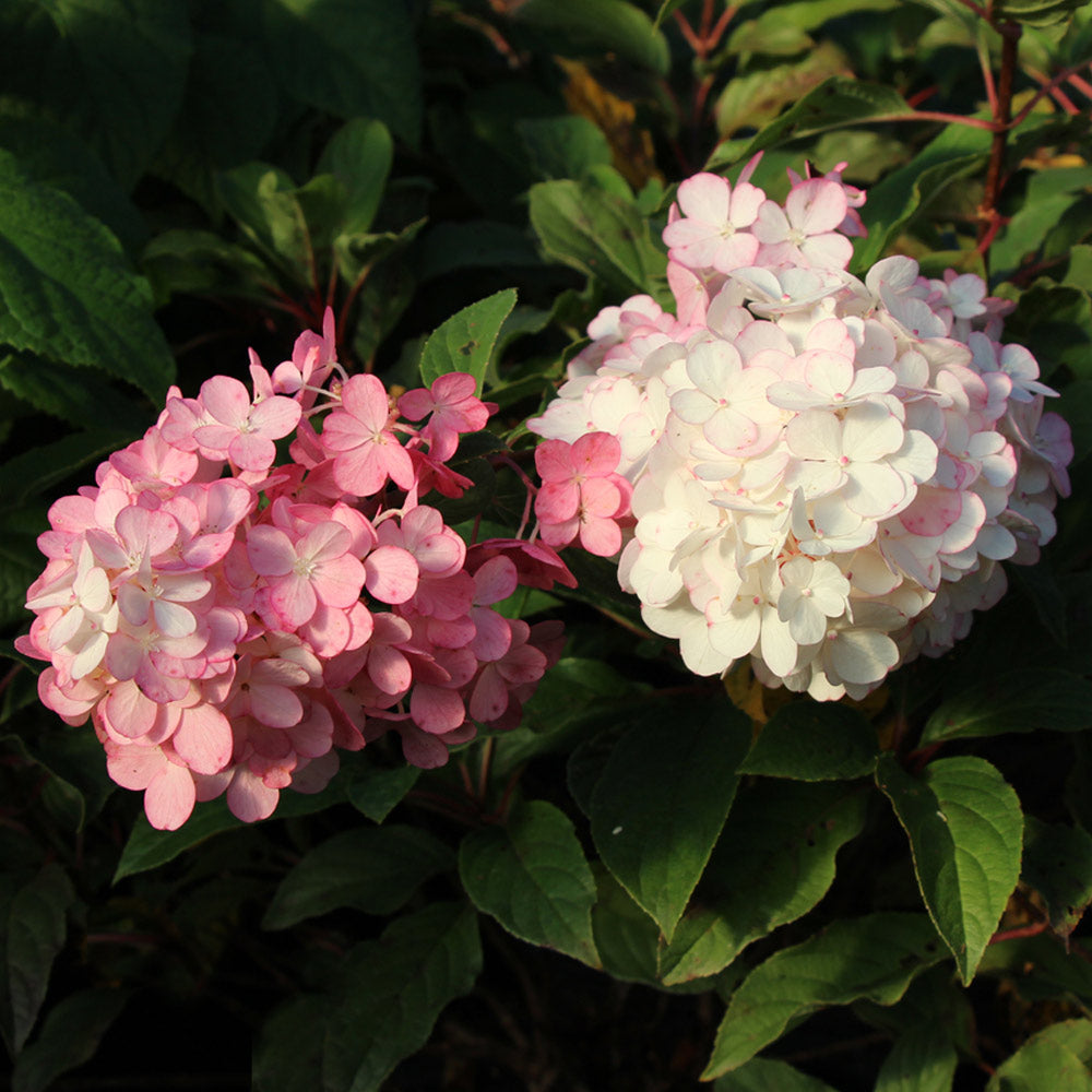 Vanilla Strawberry™ Hydrangea Tree