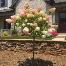 Vanilla Strawberry Hydrangea Tree