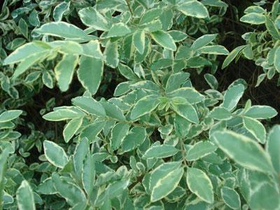 Chinese Variegated Privets For Sale Brighterblooms Com