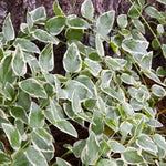 Variegated Vinca Shrub