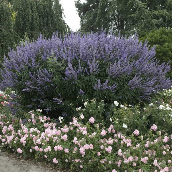 Vitex Chaste Trees for Sale   BrighterBlooms.com