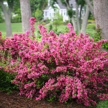 Sonic Bloom® Weigela Shrub