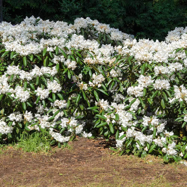 White Rhododendrons For Sale Brighterblooms Com