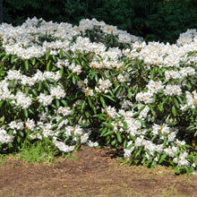 White Rhododendron Shrub