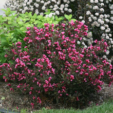 Wine and Rose Weigela Shrub