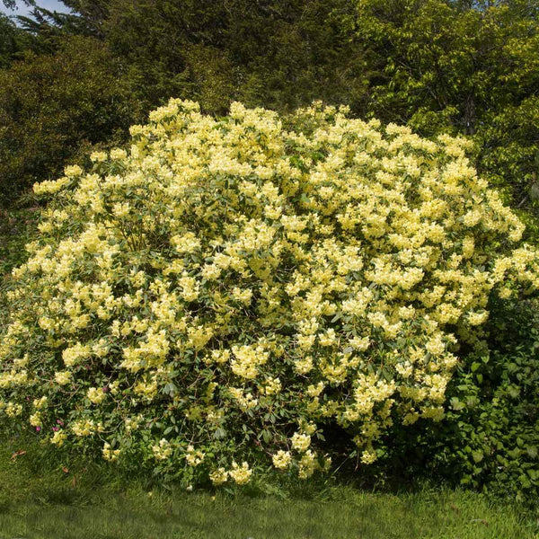 Yellow Rhododendrons For Sale Brighterblooms Com