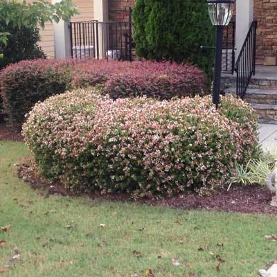 Edward Goucher Abelia Shrub