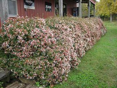 Rose Creek Shrubs For Sale Brighterbloomscom