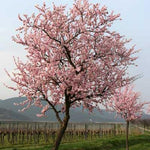 NE Plus Almond Tree
