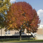 Autumn Purple Ash Tree