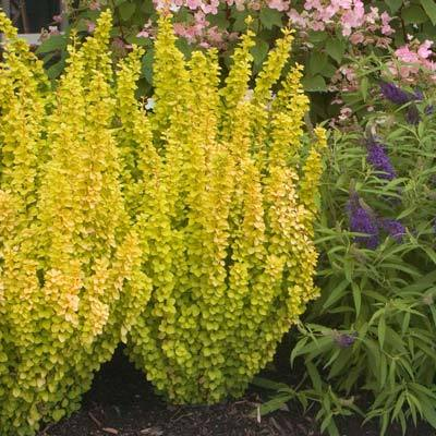 Sunjoy Golden Pillar Barberry Shrub