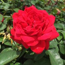 The Grand Champion™ Double Red Rose