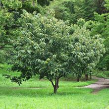 Chinese Chestnut Tree
