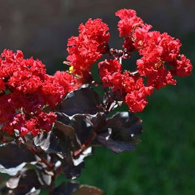 Black Diamond Crape Myrtle Tree