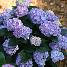 Let's Dance® Blue Jangles Hydrangea Shrub