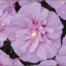Lavender Rose of Sharon Hibiscus Shrub