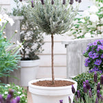 Lavender Standard Topiary Tree