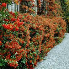 Pyracantha Mohave Shrub