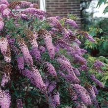 Lochinch Butterfly Bush