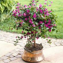 Purple Queen Bougainvillea Shrub
