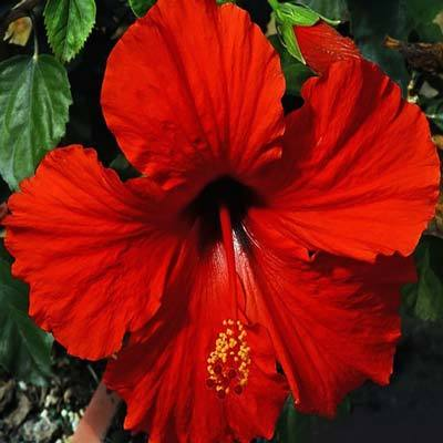 Presidents Red Hibiscus Shrubs For Sale Brighterbloomscom