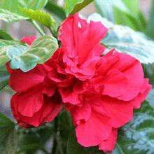 Red Rose of Sharon Hibiscus Shrub