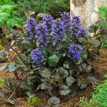 Black Scallop Ajuga Plant