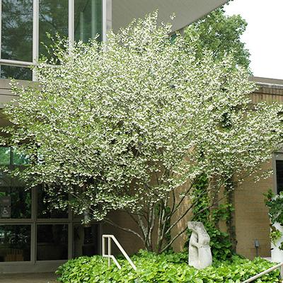 Snowbell Trees For Sale Brighterblooms Com