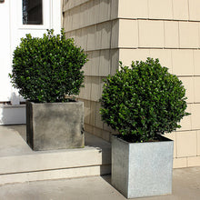 Sprinter® Boxwood Shrub