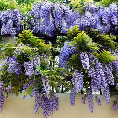 Amethyst Falls Blue Wisteria Vines For Sale Brighterblooms Com