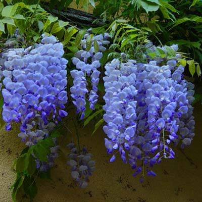 Blue Moon Wisterias For Sale Brighterblooms Com