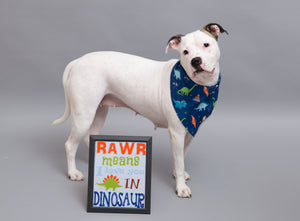 White Pit bull wearing Navy Dinosaur Bandana- Full Body Shot I Pittie Clothing Co.