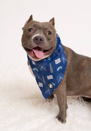 Gray Pit bull wearing navy blue Chicago bandana I Pittie Clothing Co.