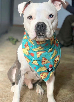White Pit bull wearing a teal pizza bandana I Pittie Clothing Co.