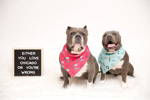 Two Pit bulls wearing a light blue Chicago themed bandana and a hot pink Chicago bandana I Pittie Clothing Co.