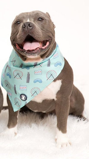 Pit bull wearing light blue Chicago themed bandana I Pittie Clothing Co.
