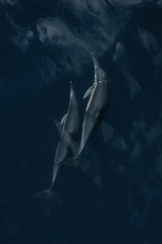 Two Common Dolphins one with plastic around its neck