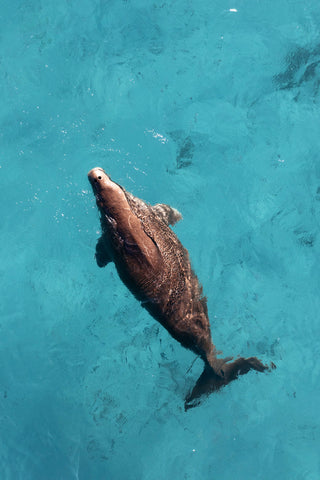 Dugong from above