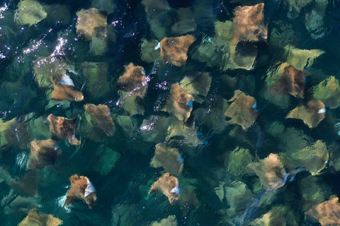 Cownose Ray Fever