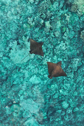 Spotted Eagle Rays over shallow coral