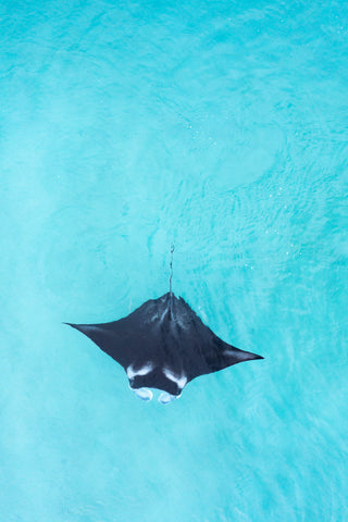 Manta ray in turquoise water
