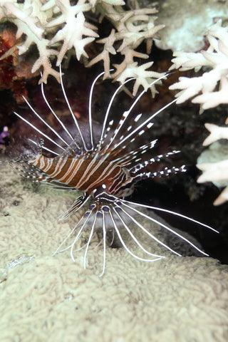 Lion Fish under coral in the Solomon Islands
