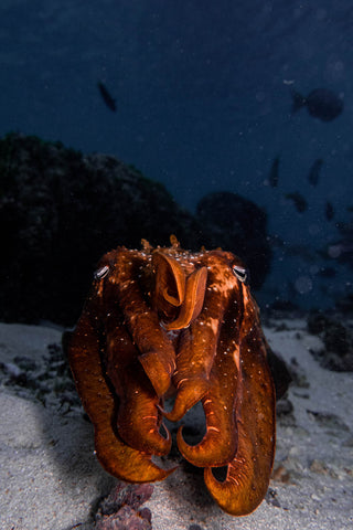 Cuttlefish glowing tomato red