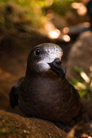 A Providence Petrel in the shade of Mt Gower on Lord Howe Island