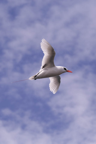 Red-tailed Tropic Bird in the skies off Lord Howe Island