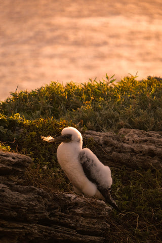 Masked Booby on Lord Howe Island cliffs