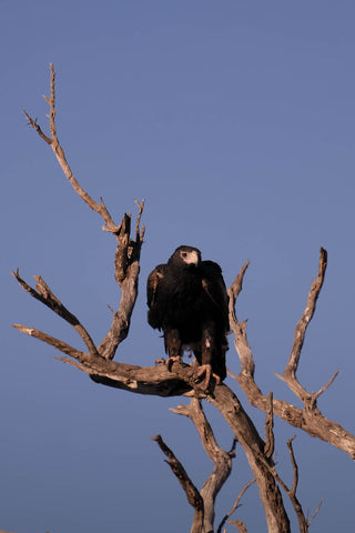 Wedge-tailed eagle nested in a tree