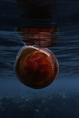 Red jellyfish floats at the surface